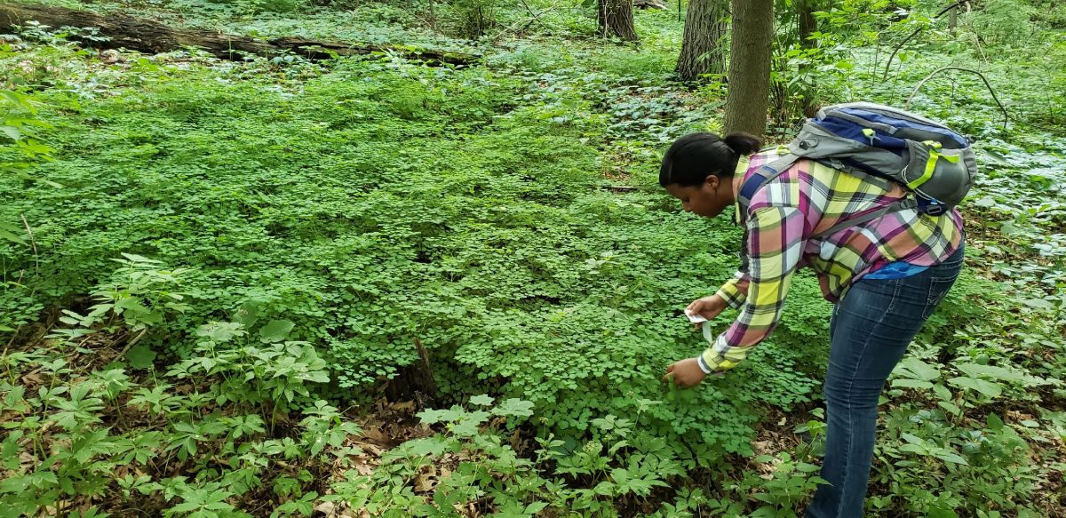 Melody Sain collecting leaf samples